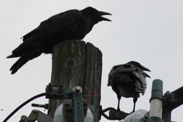 Ravens panting